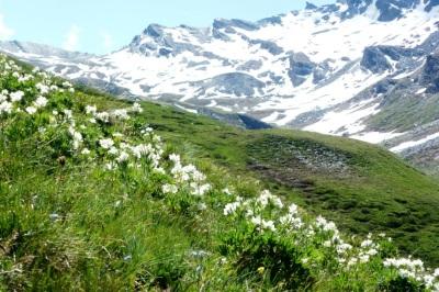 Anémones a fleurs de narcisse au col d'Agnel le 2 juillet 2013, espèce abondante ne faisant pas l'objet d'une réglementation particulière.