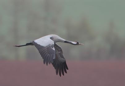 Grue cendrée adulte en vol, © Rainbirder, CC BY-NC-SA 2.0
