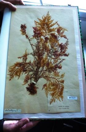 Fucus cartilagineus - De l'herbier de Lamarck acquis en 1886