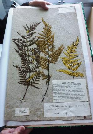 Pityrogramma chrysophylla - Fougère récoltée par le Père Charles Plumier entre 1689 et 1695 aux Antilles