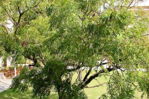Margousier arbre