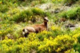 Isard fuyant à travers les massifs de genêts purgatifs (Vallée d'Err - 2100 m)
