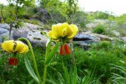 Fleurs du Lys des Pyrénées
