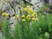 Lys des Pyrénées en début floraison