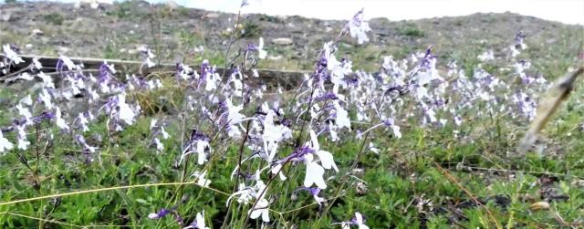 Linaria nigricans_Linaire noircissante11 (2)
