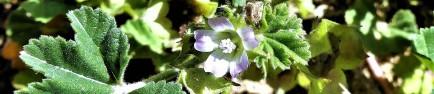Malva parviflora Mauve à petites fleurs2 (2)