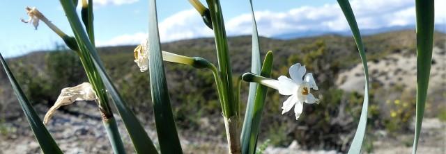 Narcissus tortifolius_Narcisse à feuilles vrillées6 (2)